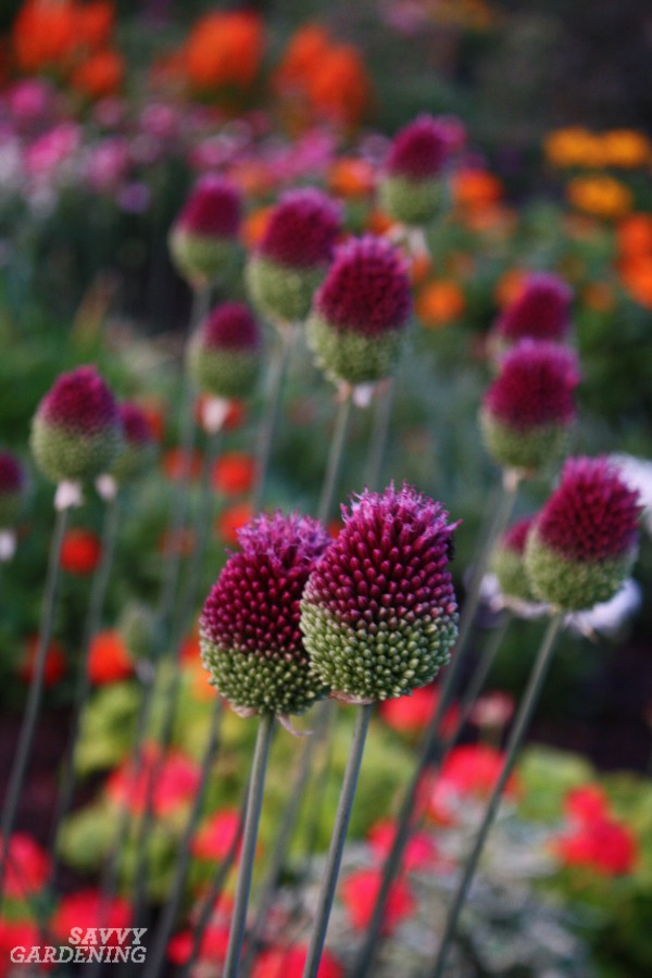 Drumstick alliums are deer-resistant spring bulbs.