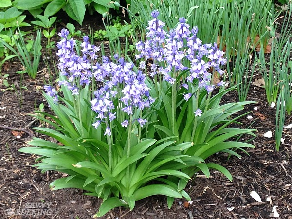 Hyacinthoides, or Spanish bluebells, are underused bulbs that deserve a home in your garden.
