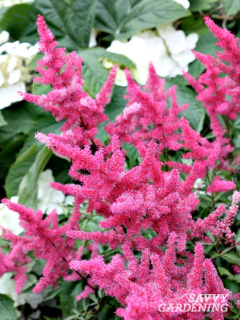 Plant long-blooming astilbe for months of bold color.