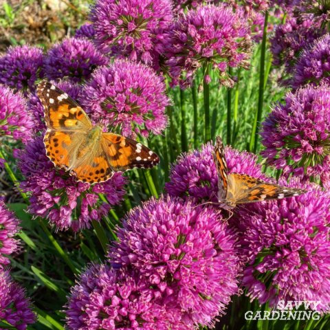 10 of the longest flowering perennials for your garden millenium allium is a long flowering perennial thats attractive to bees and butterflies mightylinksfo