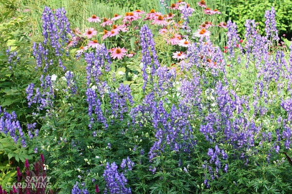 Attract bumblebees to your wildlife garden by planting monkshood.