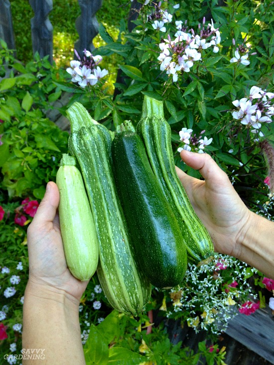 Zucchini are not without their fair share of problems.