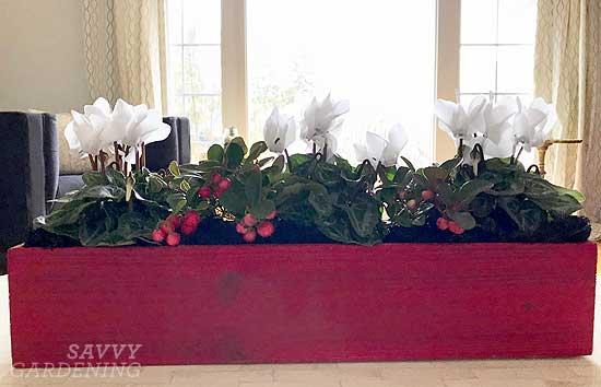Mini cyclamen and winterberry arrangement