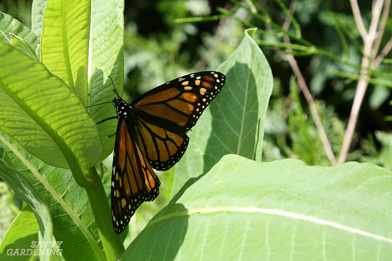 Common milkweed is a great host food for monarch butterflies
