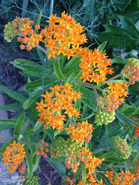How to grow butterfly weed for monarchs from seed.
