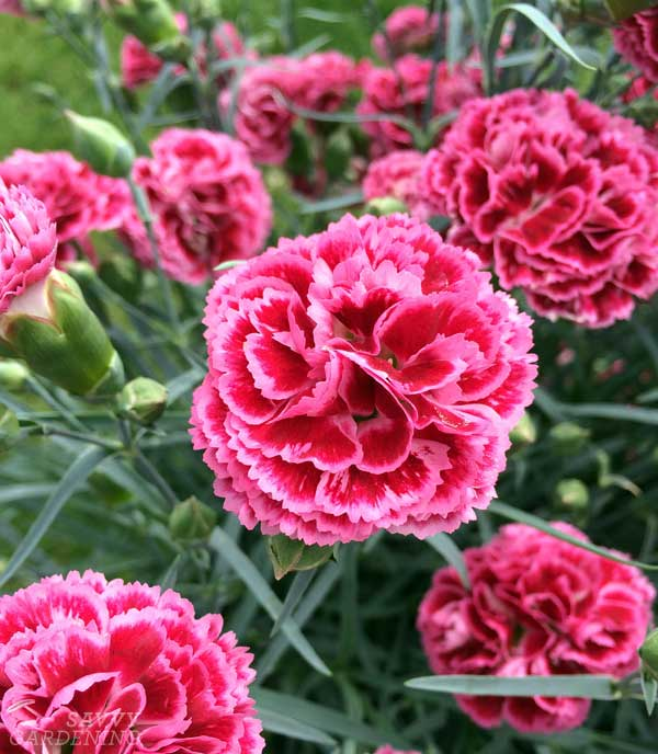 Fruit Punch 'Cherry Vanilla' Dianthus