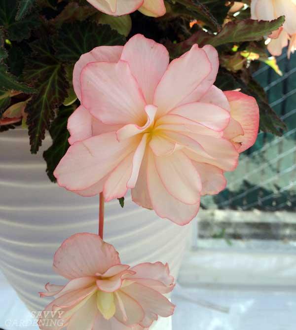 Unbelievable Miss Montreal Begonia hybrid