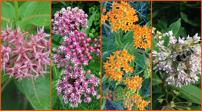 Milkweeds are the only monarch host butterfly plant.