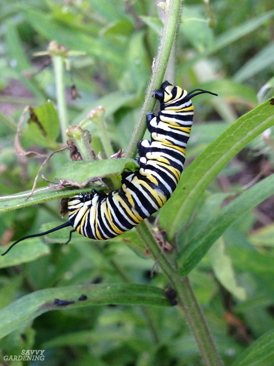 Milkweed is the only larval host food for monarch butterflies.