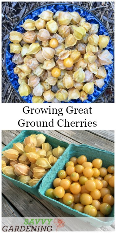 Get tips on how to grow ground cherries in a garden - it's fun & easy!