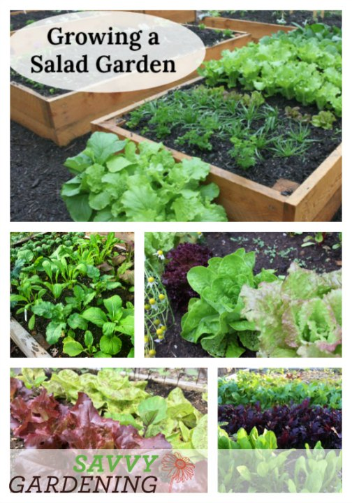 Growing a salad garden is fast & easy!