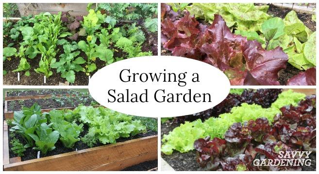 Learn how to grow a salad garden.