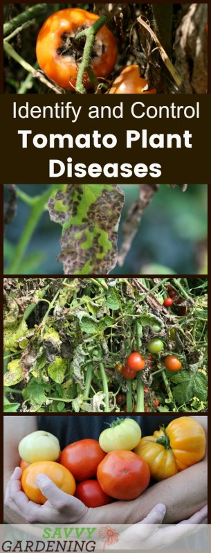 Identify and manage tomato diseases organically with these tips.