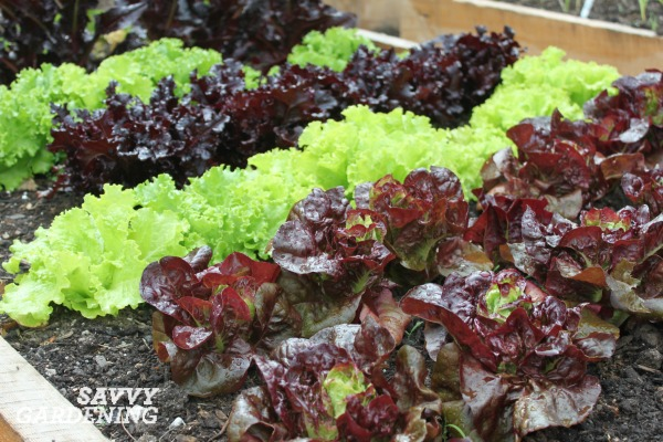 Growing a salad garden is easy with fast growing lettuces.