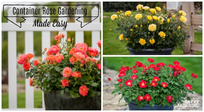 Simple Rose Garden: Container Rose Gardening Made Easy; Learn To Grow Roses In