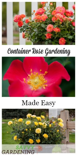 Learn everything you need to know for successful container rose gardening. (AD)