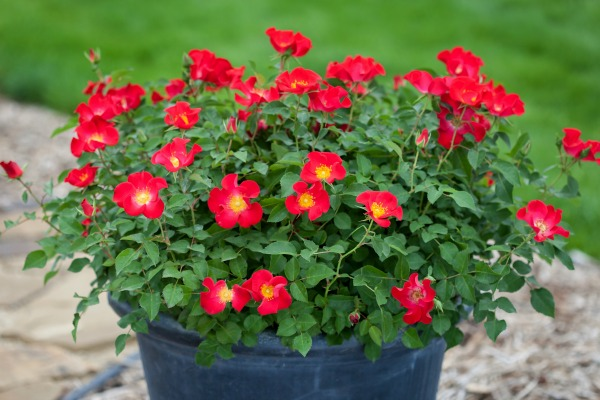 Screaming Neon Red rose is a hardy, disease resistant cultivar that's perfect for container rose gardening. (AD)