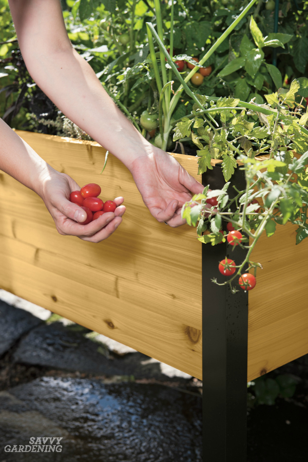 Growing tomatoes in elevated raised bed gardening is easy with the right varieties. (AD)