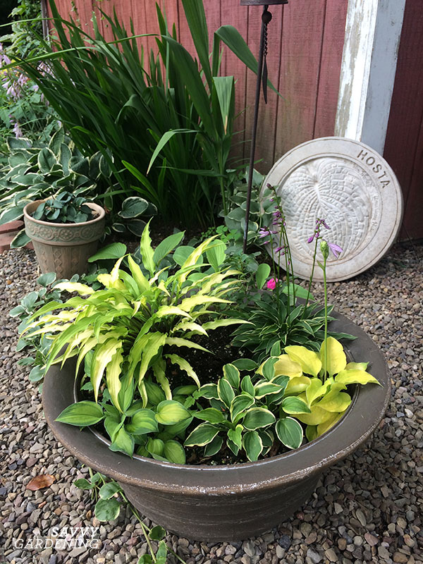 A pot-full of miniature hostas!