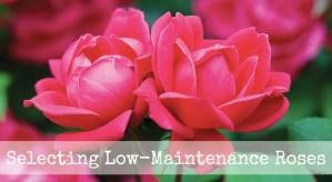 Selecting low-maintenance roses
