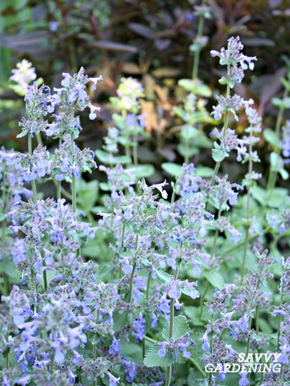 Catmint is an easy-to-grow, hardy perennial that flowers late spring through autumn.