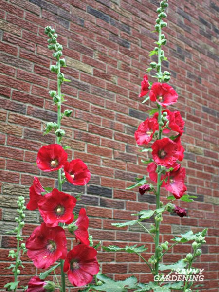 Hollyhocks are beautiful perennials that self-seed around a cottage garden.