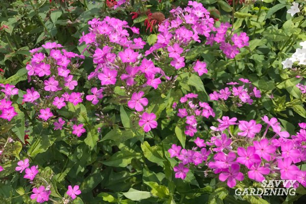 Phlox is a beautiful, easy-to-grow perennial that is perfect for a cottage garden.