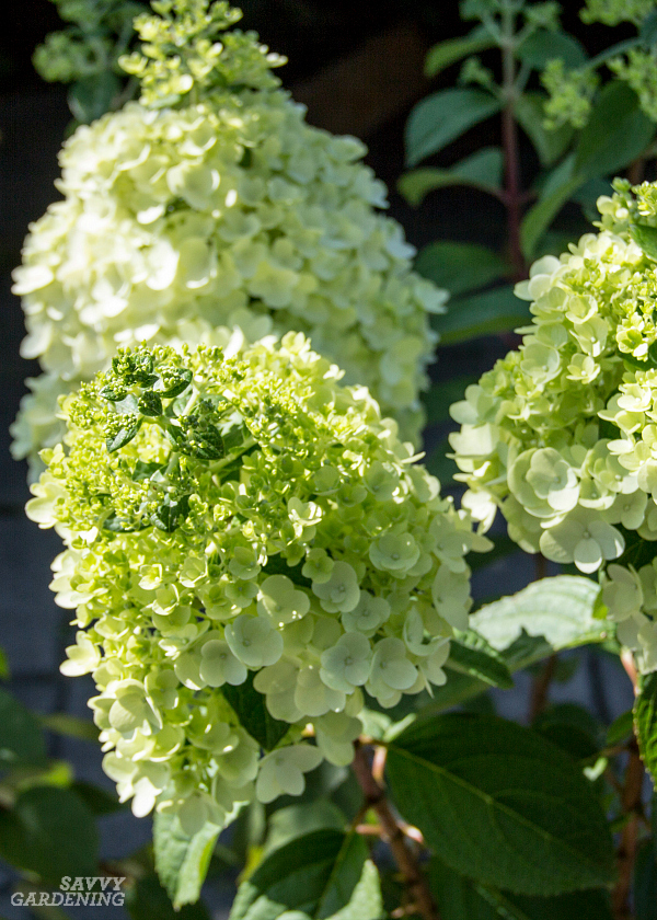 Moonrock™ panicle hydrangeas bloom reliably and produce gorgeous lime-green flowers. (AD)