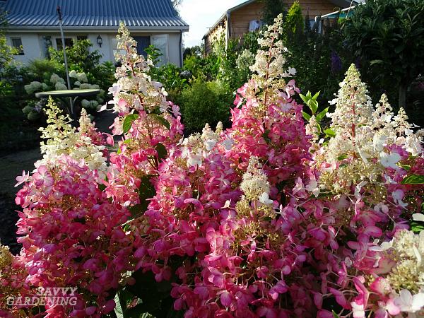 The best panicle hydrangeas for your garden (Hydrangea paniculata). (AD)