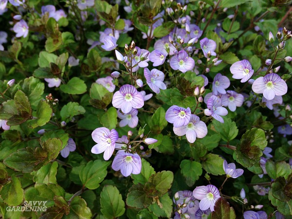 Flowering ground covers for the shade include creeping veronica.
