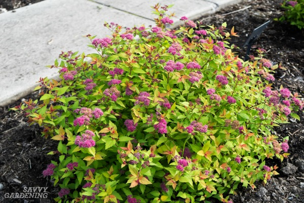 Compact Shrubs For Small Yards And Low Maintenance Landscapes. (AD)