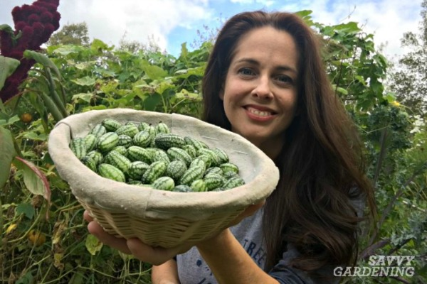 Learn how easy it is to grow cucamelons in a garden.