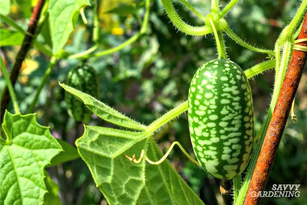 Cucamelon vines produce a large harvest.