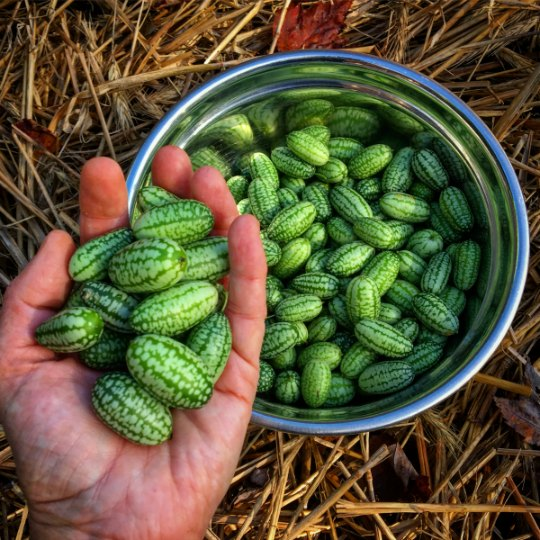 Growing cucamelons is fun and easy.