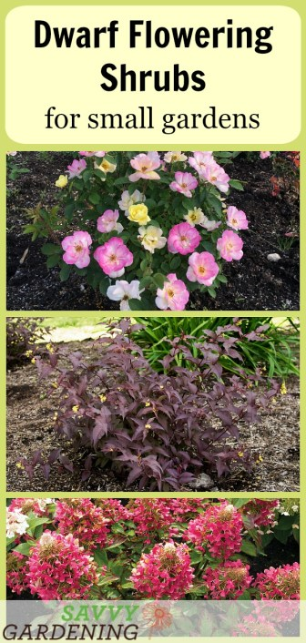 Dwarf Flowering Shrubs for Small Gardens: 5 Favorites (AD)