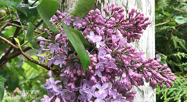 Tips for pruning lilacs to encourage blooms for next year