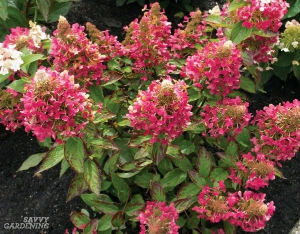 Small flowering shrubs for the shade garden include Flare™ hydrangeas. (AD)