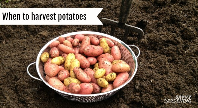 When To Harvest Potatoes In Garden Beds And Containers