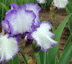how to divide irises