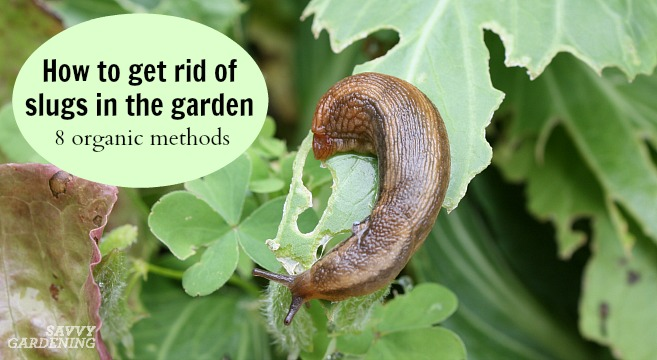 Manage slugs organically with these 8 tips.