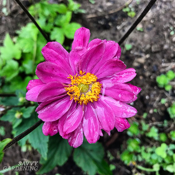Fall-blooming flowers: Japanese anemone 'Pamina'