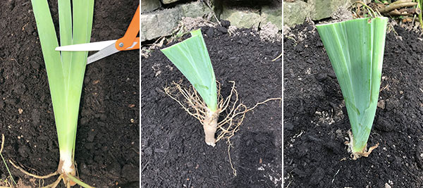 replanting divided irises