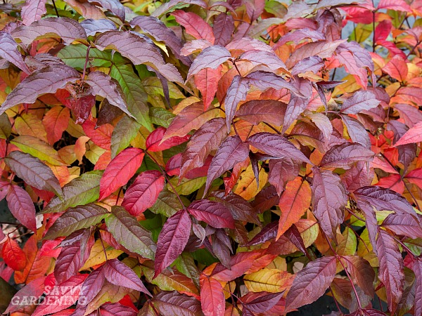 Shrubs with colorful fall foliage.(AD)