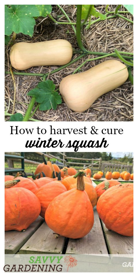 Learn how and when to harvest winter squash.