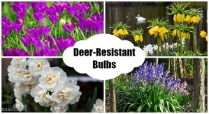 Spring Bulbs that are Resistant to Deer Damage (AD)