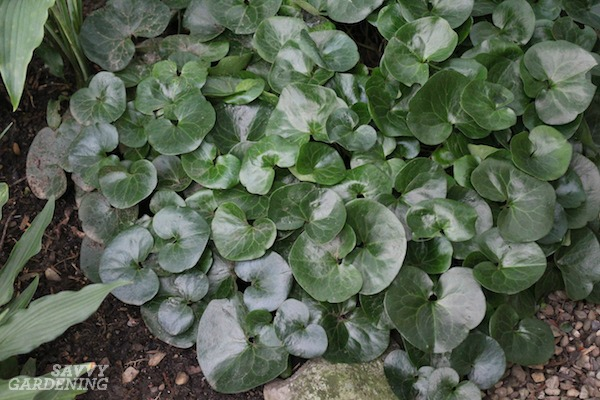 European ginger is the perfect evergreen groundcover variety for shade.