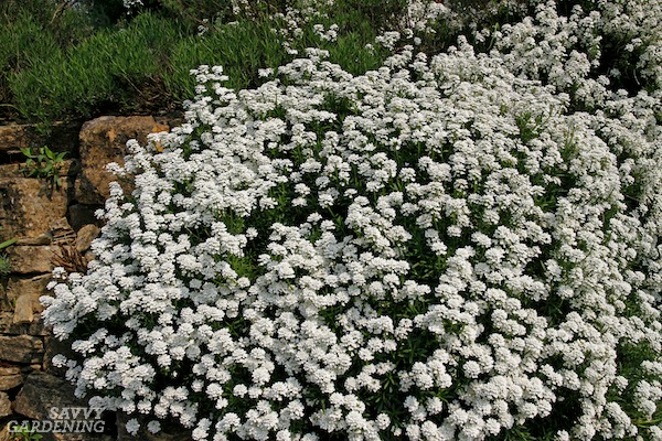 Evergreen candytuft is a great flowering groundcover.