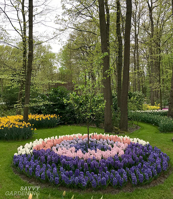 Hyacinth bulbs planted around a tree at the Keukenhof