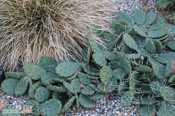 Prickly pear cactus is an evergreen groundcover.