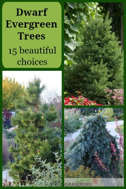Dwarf Evergreen Trees: 15 Beautiful Choices